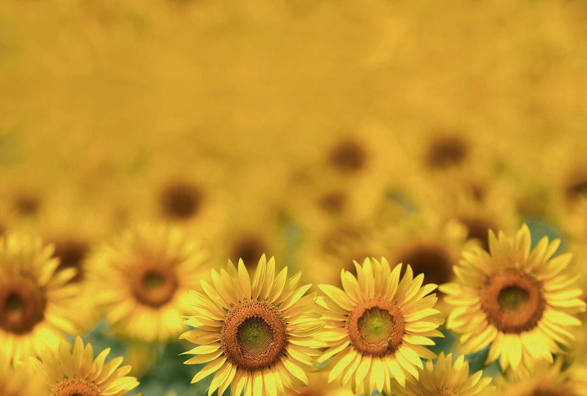 Sunflowers for Reolì spreadable sunflower oil