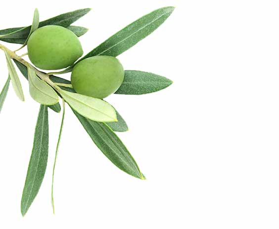 picture of a olive tree