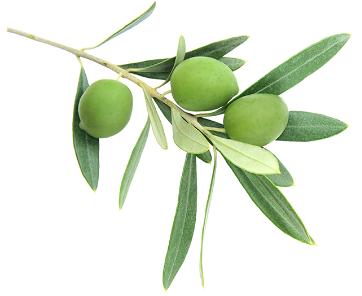ulivi usati per fare l'olio spalmabile reolì extravergine