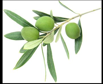 imamgine di un ramoscello di ulivo